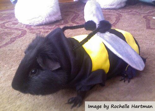 costume guinea pig pictures