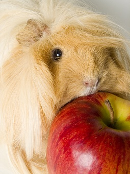 eating guinea pig pictures