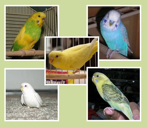 parakeet colors