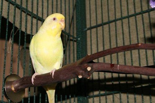 new yellow female parakeet