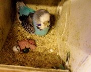 Parakeet egg laying