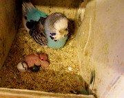 Parakeet egg laying