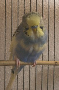 Sick looking parakeet