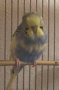 Sick looking parakeet