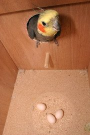Parakeet nest box