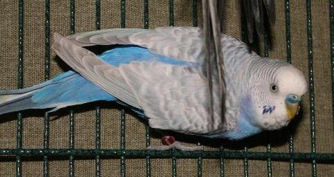 parakeet training