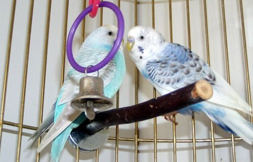 two parakeets playing on the perch