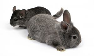 pet rabbit and pet chinchilla