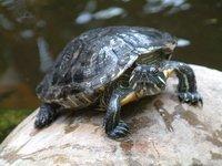 pet turtle on a rock