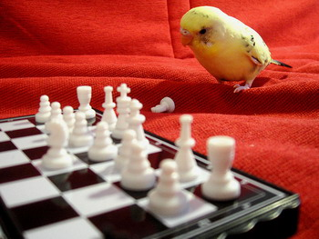 Budgie parakeet playing chess