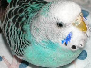 parakeet beak