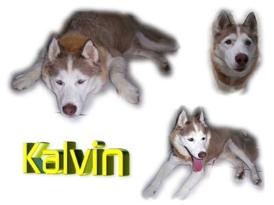 This is Kalvin, a red and white Husky