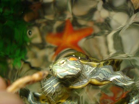 small pet turtle eating