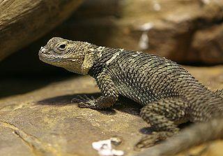 Spiny Desert Lizard