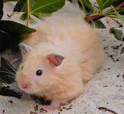 teddy bear hamster (also called Syrian Hamster)