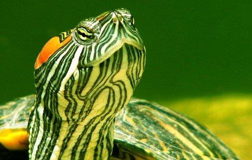 cute aquatic turtle