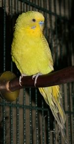yellow budgie on perch