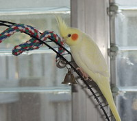 yellow cockatiel playing